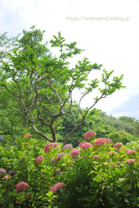 紫陽花をあじわう_b0324291_15113605.jpg
