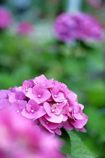 隅田公園のアジサイ_e0348392_15341948.jpg