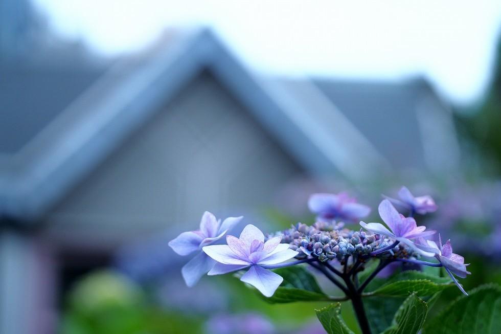 隅田公園のアジサイ_e0348392_15345887.jpg