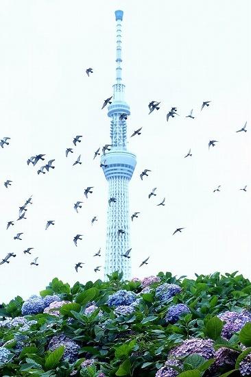 隅田公園のアジサイ_e0348392_15350989.jpg