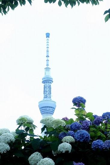 隅田公園のアジサイ_e0348392_15351712.jpg