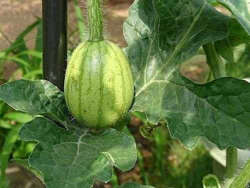 収穫間近のアイコ_e0289203_20082950.jpg