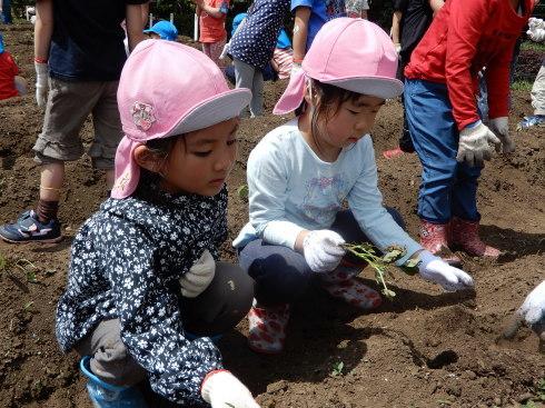 【南砂】芋の苗植え_a0267292_10525176.jpg