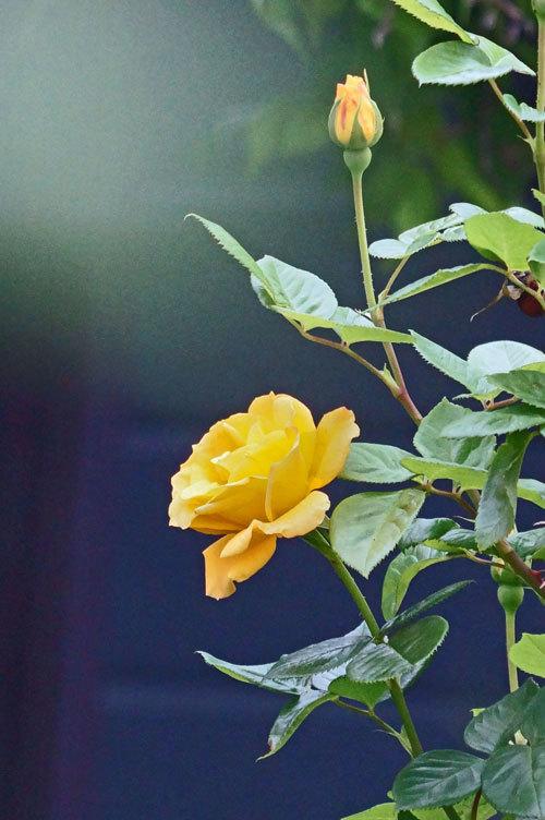 薔薇_d0162994_05314258.jpg