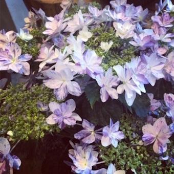 紫陽花いろいろ_f0061394_09005004.jpg