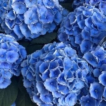紫陽花いろいろ_f0061394_09045746.jpg