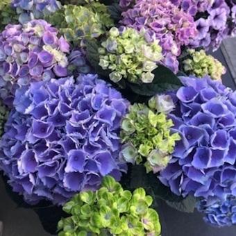 紫陽花いろいろ_f0061394_09065471.jpg