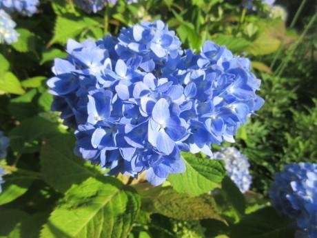 黒花のタチアオイ咲く ほか_a0203003_20042180.jpg