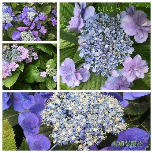 紫陽花 & 簡単拭き掃除のために_a0084343_13423693.jpeg