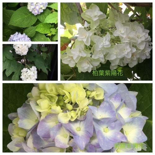 紫陽花 & 簡単拭き掃除のために_a0084343_13425263.jpeg