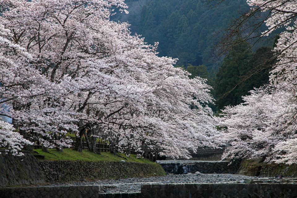 桜 2019!  ~亀岡 七谷川~_b0128581_21284244.jpg