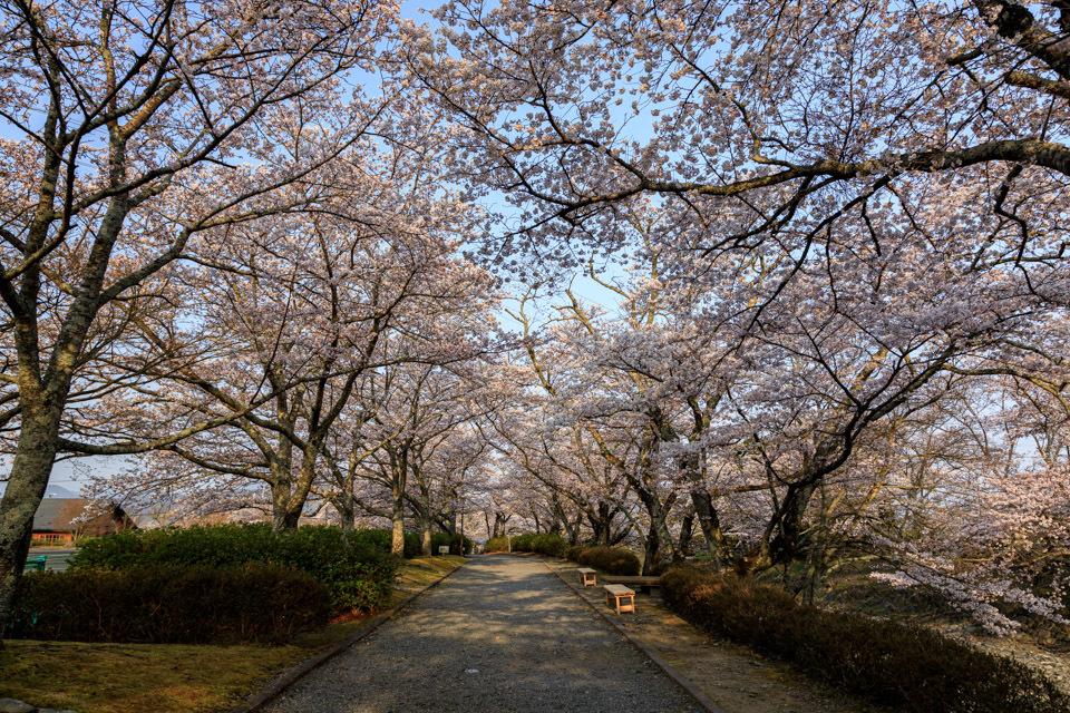 桜 2019!  ~亀岡 七谷川~_b0128581_21285168.jpg