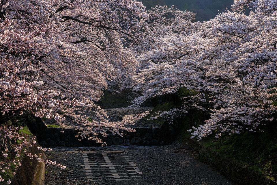 桜 2019!  ~亀岡 七谷川~_b0128581_21290051.jpg