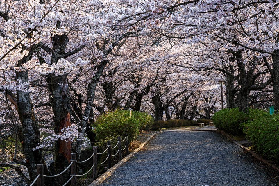 桜 2019!  ~亀岡 七谷川~_b0128581_21290904.jpg
