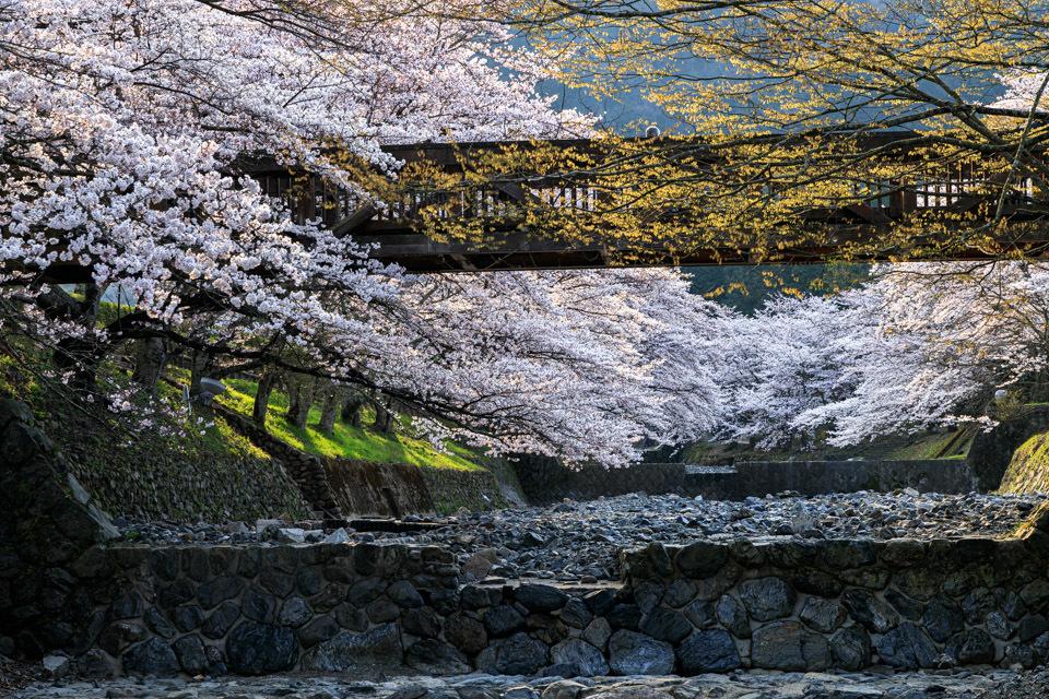 桜 2019!  ~亀岡 七谷川~_b0128581_21291636.jpg