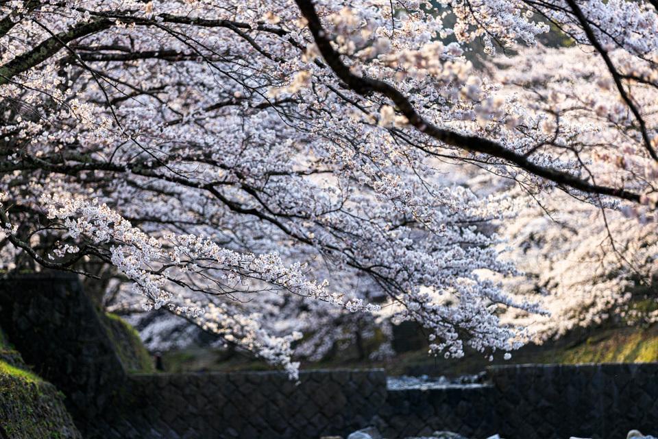 桜 2019!  ~亀岡 七谷川~_b0128581_21293256.jpg