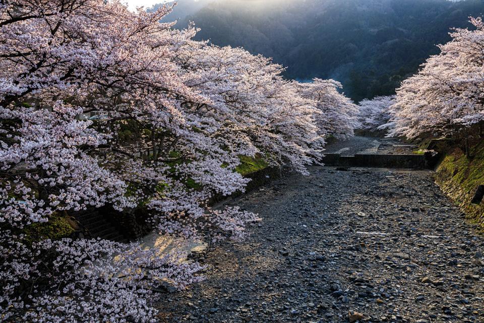 桜 2019!  ~亀岡 七谷川~_b0128581_21294112.jpg