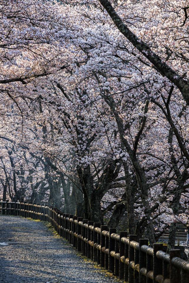 桜 2019!  ~亀岡 七谷川~_b0128581_21295040.jpg