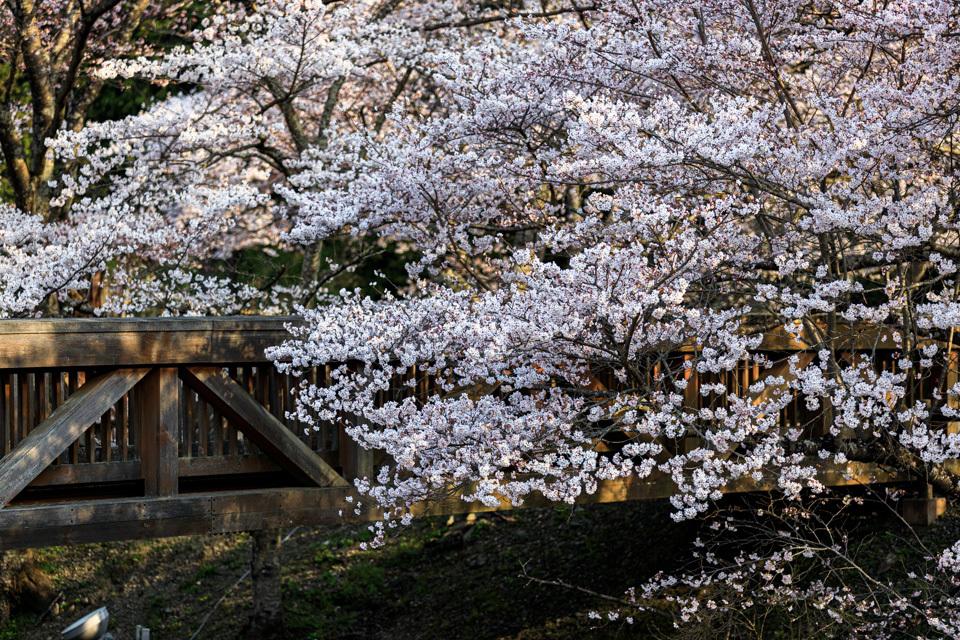 桜 2019!  ~亀岡 七谷川~_b0128581_21300042.jpg