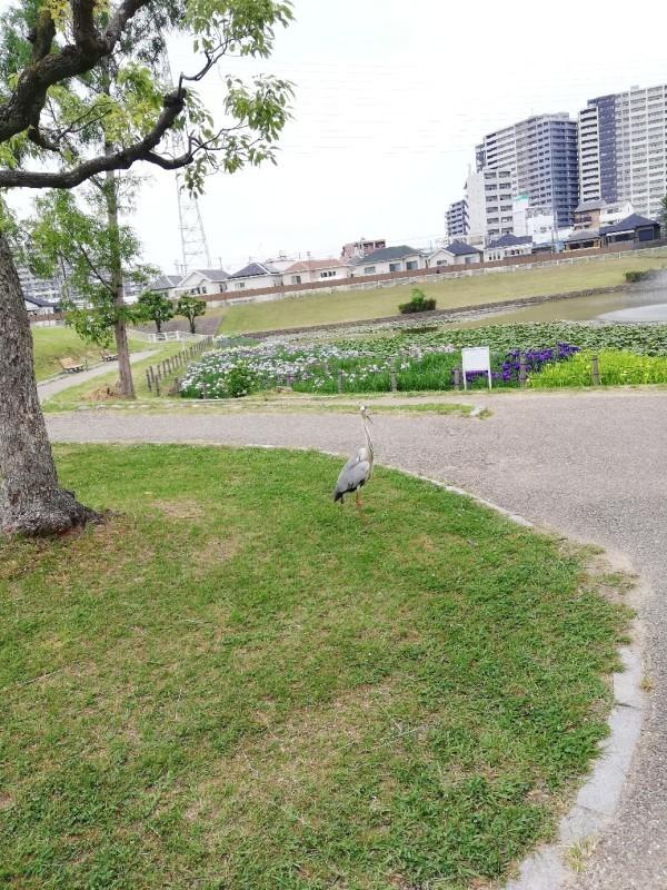 6日は白鷺公園へ花菖..._f0376200_01214608.jpg
