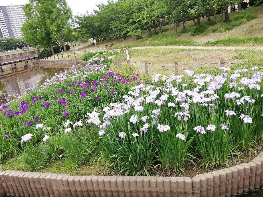 6日は白鷺公園へ花菖..._f0376200_01214636.jpg
