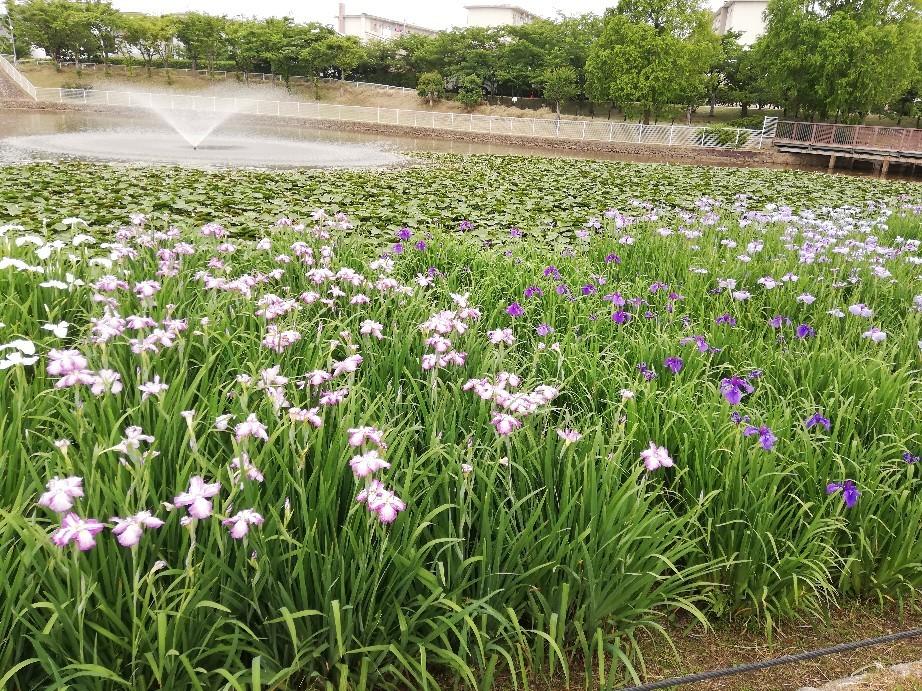 6日は白鷺公園へ花菖..._f0376200_01221857.jpg