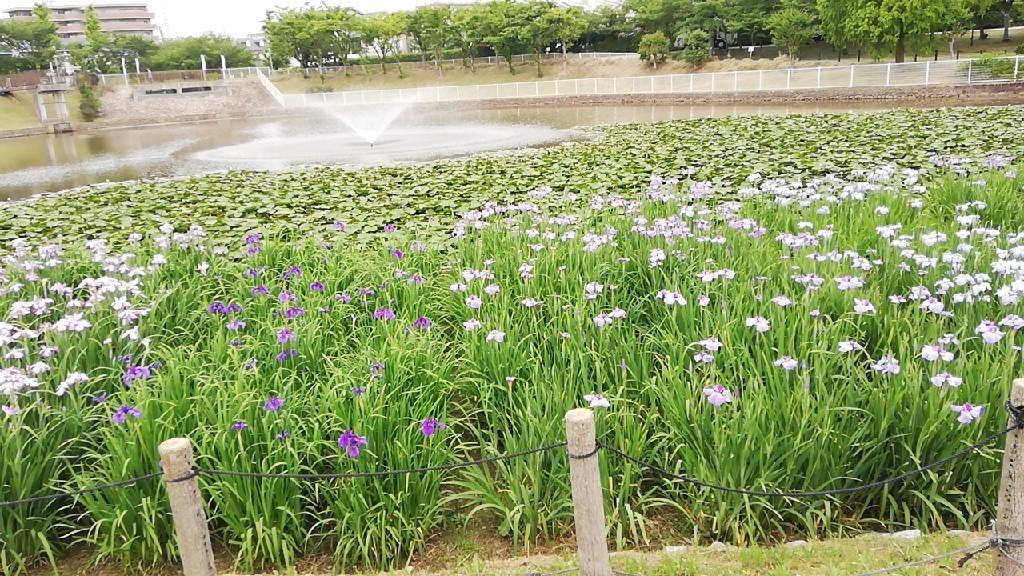 6日は白鷺公園へ花菖..._f0376200_01221944.jpg