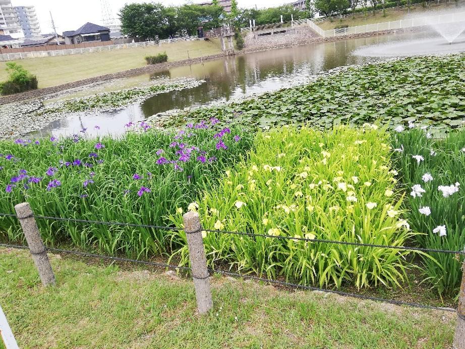 6日は白鷺公園へ花菖..._f0376200_01221951.jpg