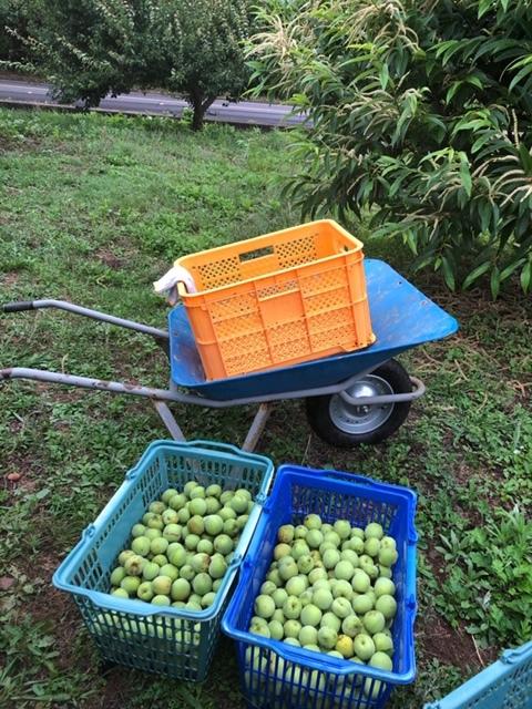 平山旅館梅収穫ツアー行ってきました。_c0125114_15290726.jpg