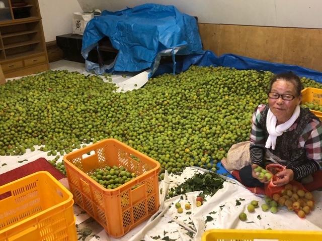 平山旅館梅収穫ツアー行ってきました。_c0125114_15293452.jpg
