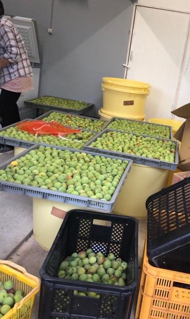 平山旅館梅収穫ツアー行ってきました。_c0125114_15294619.jpg