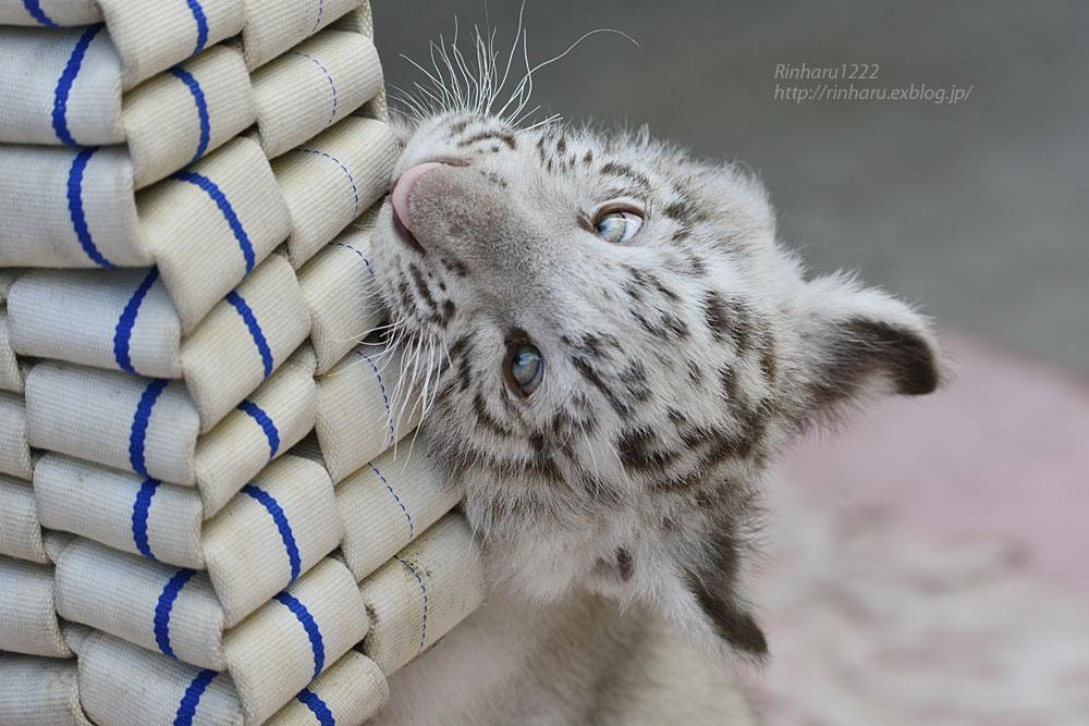 2019.6.3 宇都宮動物園☆ホワイトタイガーのグーナ君♪ 【White tiger baby】_f0250322_20153734.jpg