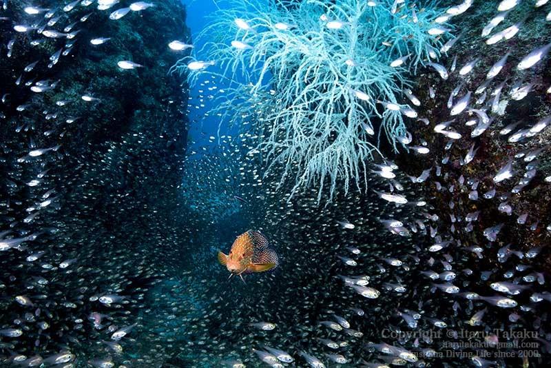 濁った海にユウレイクラゲ!_b0186442_23033448.jpg