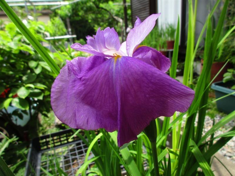 植物「花菖蒲の咲く頃」_b0362459_22201595.jpg