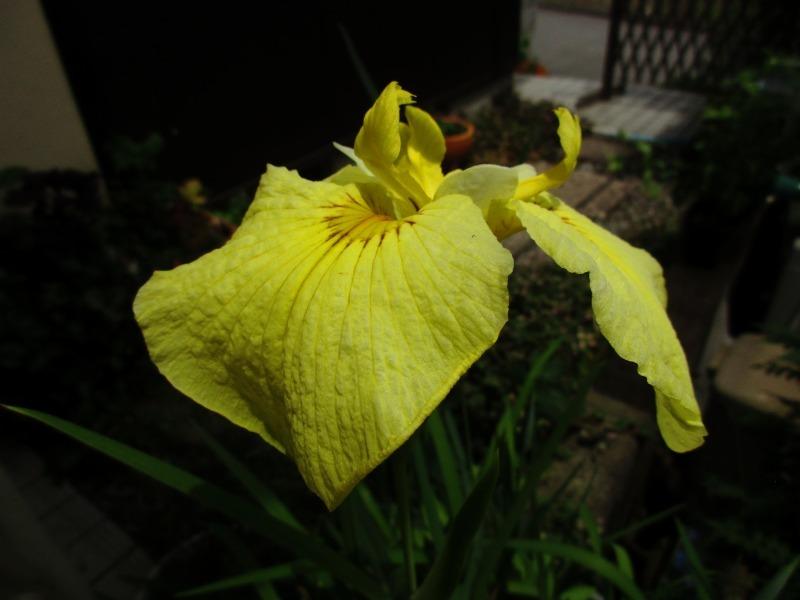 植物「花菖蒲の咲く頃」_b0362459_22243547.jpg