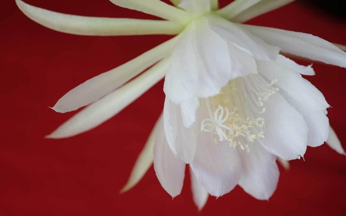サボテンの花_e0220159_20512208.jpg