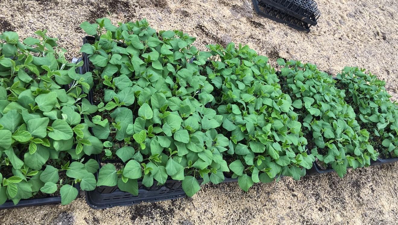 幻の赤大豆~植えました!_b0270977_11222383.jpg