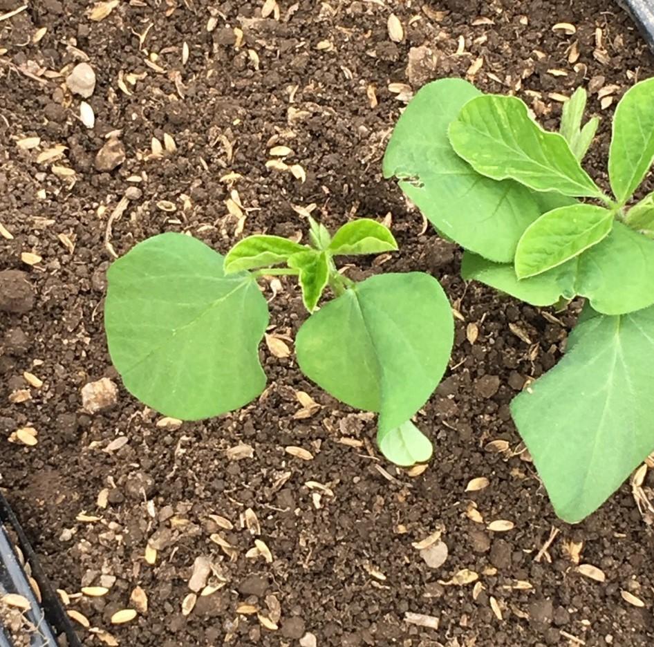 幻の赤大豆~植えました!_b0270977_11293733.jpg
