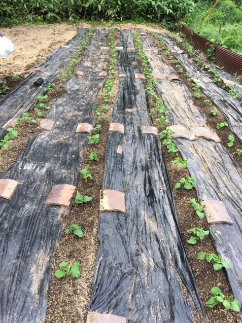 幻の赤大豆~植えました!_b0270977_11312882.jpg