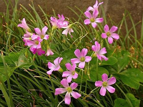 ピンクの花 色々_e0289203_09265017.jpg