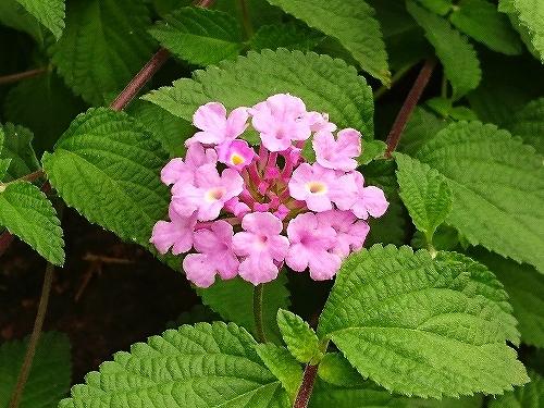 ピンクの花 色々_e0289203_09265692.jpg