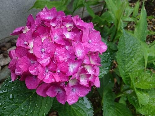 ピンクの花 色々_e0289203_09270170.jpg