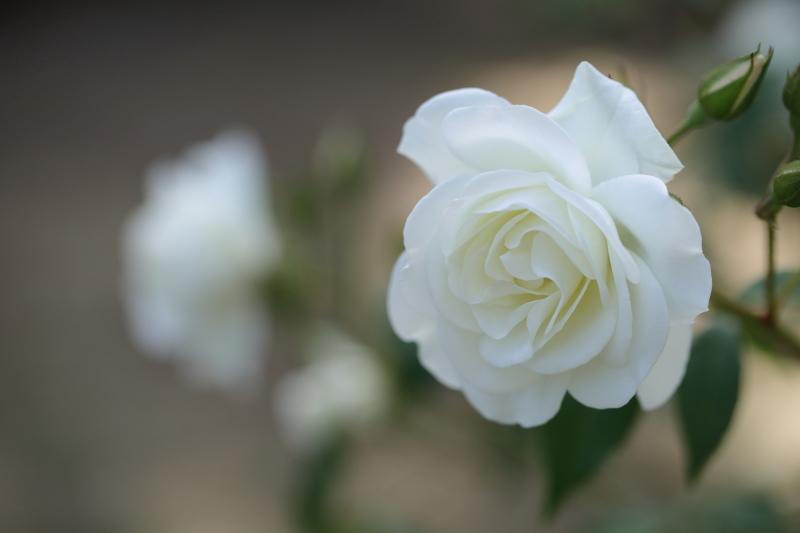 白薔薇_e0169421_21115999.jpg