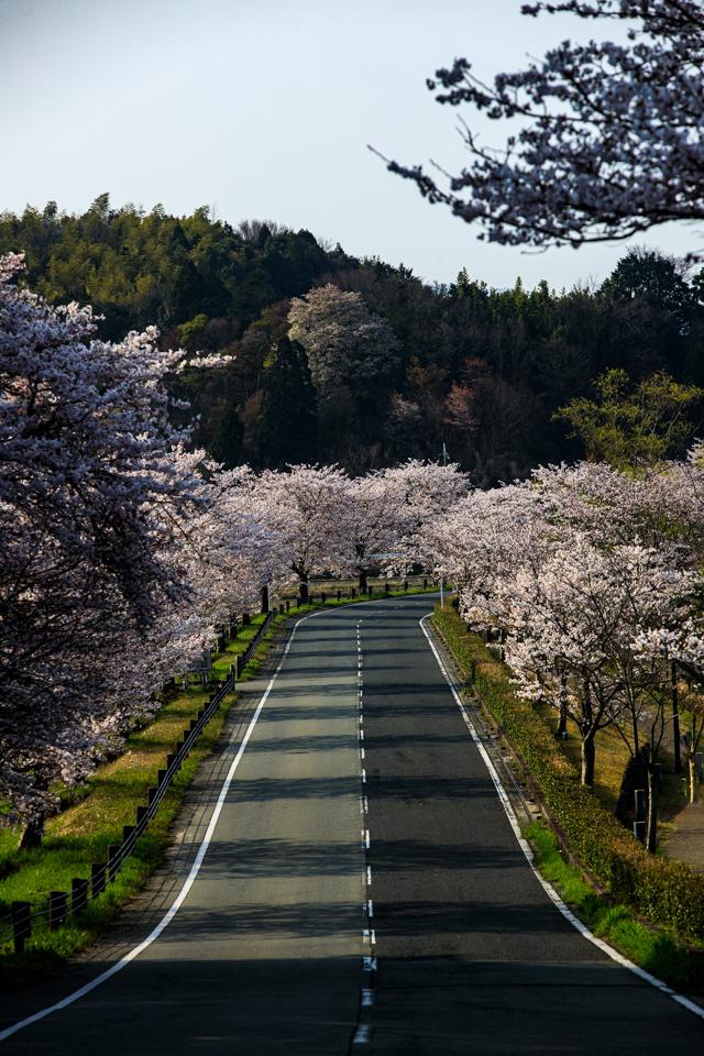 桜 2019!  ~平の沢池~_b0128581_20315708.jpg