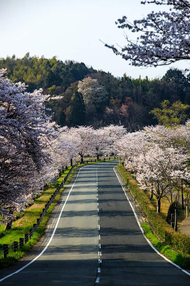 桜 2019!  ~平の沢池~_b0128581_20325519.jpg