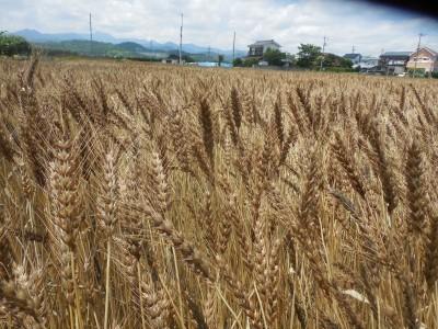 小麦収穫_c0332682_22053815.jpg