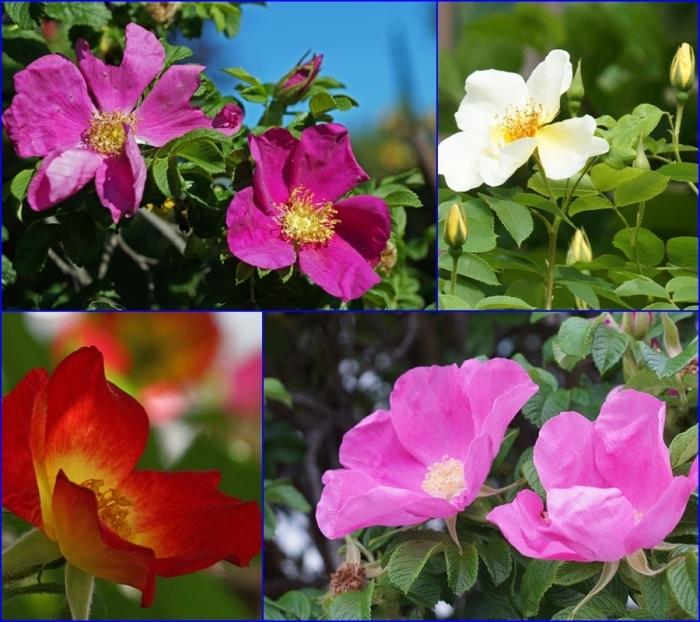薔薇・薔薇_d0162994_05281826.jpg