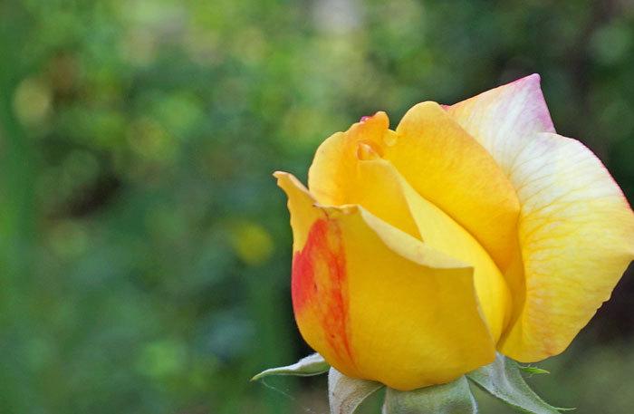 薔薇・薔薇_d0162994_05294314.jpg