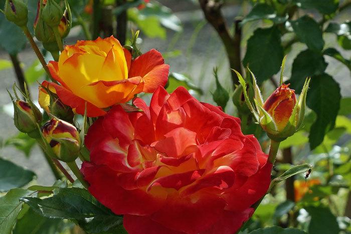 薔薇・薔薇_d0162994_05373299.jpg