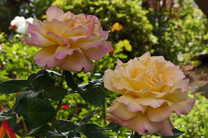 薔薇・薔薇_d0162994_05591186.jpg